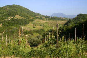Greco vines near the town of Montemilletto with Monte Vergine in the background (Photo ©Tom Hyland)