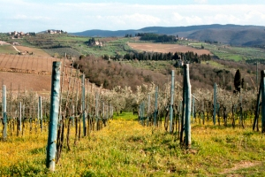 Vineyard in Panzano in the Chianti Classico zone (Photo ©Tom Hyland)