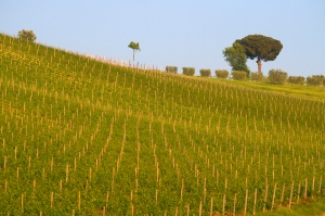Falanghina vineyard in Campania (Photo ©Tom Hyland)