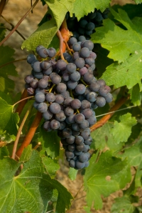 Nebbiolo grapes in the Barolo zone (Photo ©Tom Hyland)