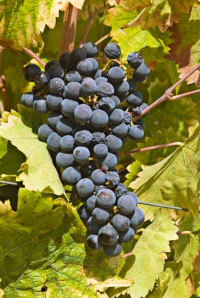 Ripe Sagrantino Grapes (Photo ©Tom Hyland)
