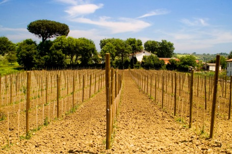 Vineyard in the Taurasi zone planted to Aglianico (Photo ©Tom Hyland)