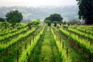Aglianico vineyards in Campania (Photo ©Tom Hyland)