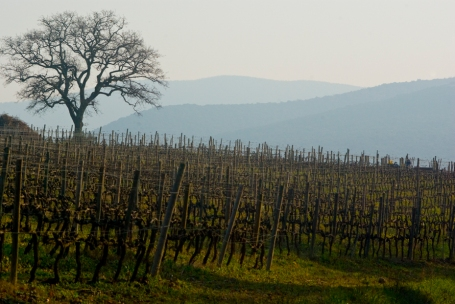 Winter Vineyard Scene, Bolgheri (Photo ©Tom Hyland)